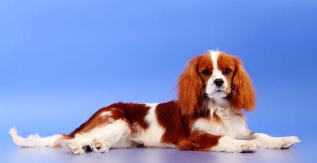 Les caractéristiques d'un chien Cavalier King Charles